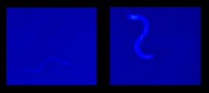 Blue-wormedited-640x286.jpg