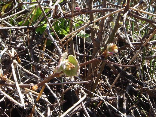 20130531山ブドウの葉2