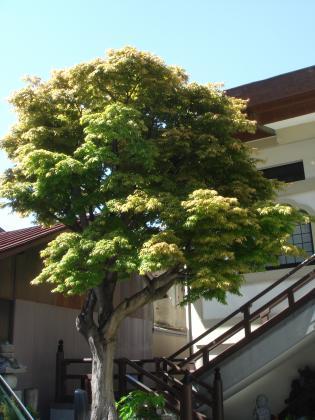 大安寺の紅葉、緑