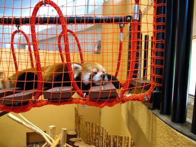 2013/7/18日本平動物園:レッサーパンダ