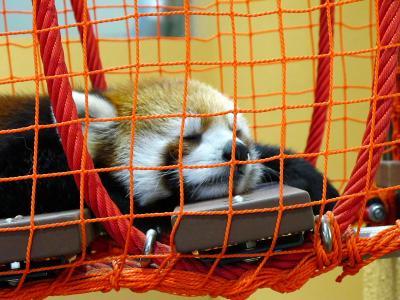2013/7/18日本平動物園:レッサーパンダのアップ