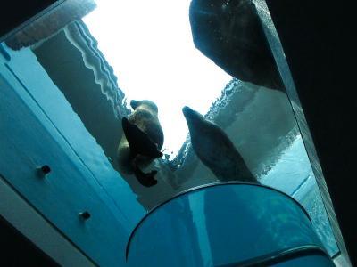 2013/7/18日本平動物園:アザラシを見上げる
