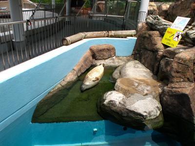 2013/7/18日本平動物園:寝てるアザラシ