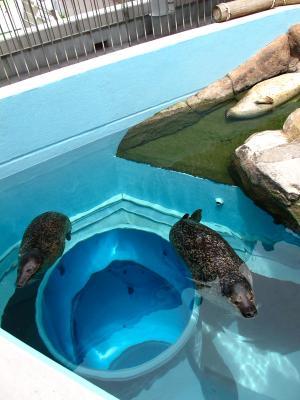 2013/7/18日本平動物園:ゴマフアザラシ
