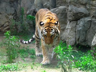 2013/7/18日本平動物園:いい面構えのアムールトラ