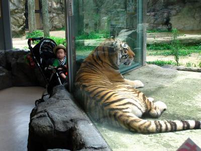 2013/7/18日本平動物園:アムールトラのサービス精神
