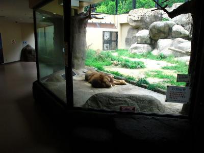 2013/7/18日本平動物園:ライオン