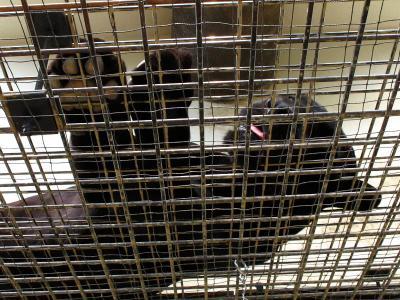 2013/7/18日本平動物園:黒いジャガーのアップ