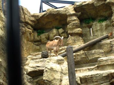 2013/7/18日本平動物園:バーバリシープ