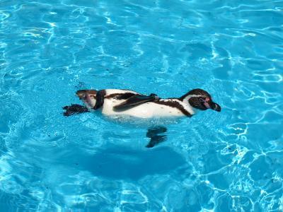 2013/7/18日本平動物園:泳ぐペンギン