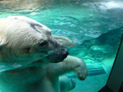 2013/7/18日本平動物園:泳ぐロッシー3
