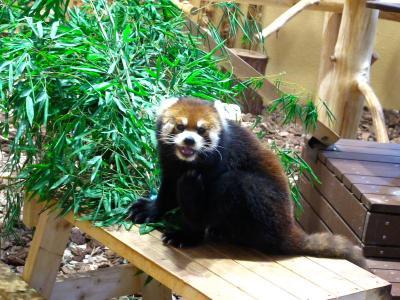 2013/7/18日本平動物園:レッサーパンダと笹