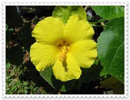 Hibiscus_brackenridgei_flower.jpg