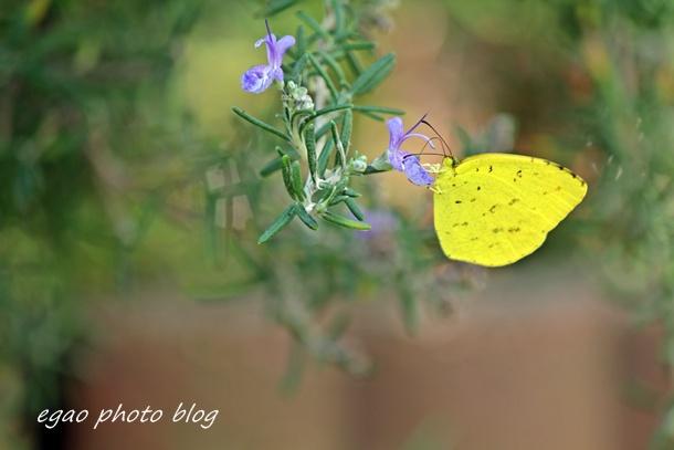 蝶々さん こんにちは