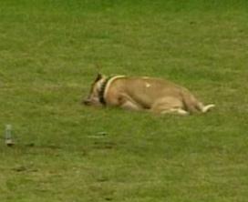 Volkan-pitbull-matado.jpg