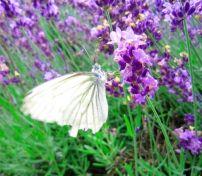 1370062_lavender_3.jpg