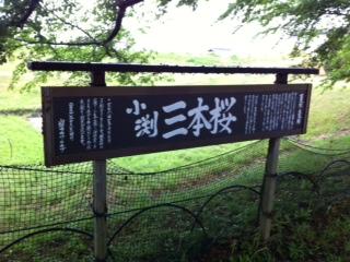 _201305小渕三本桜_