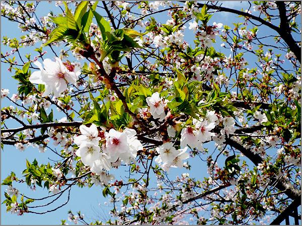 葉桜01a