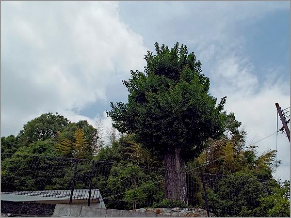 銀杏の木01