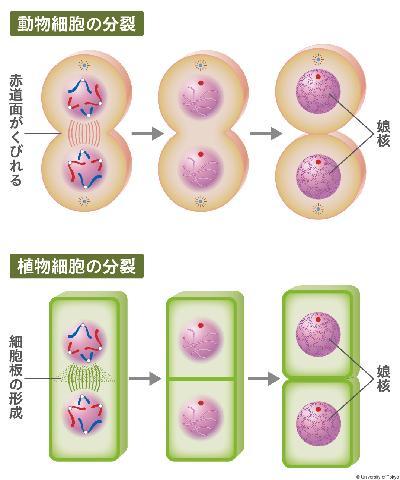 母8多クローンコピー細胞分裂思考