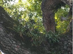 樹皮に着生植物