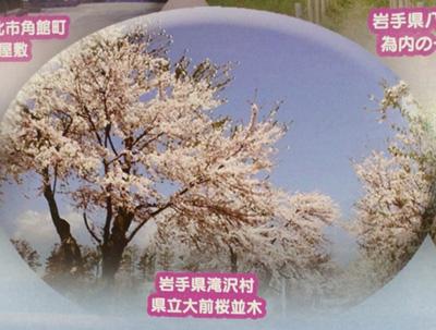 県立大前桜並木