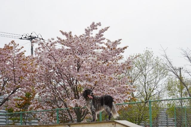 桜満開のラン3