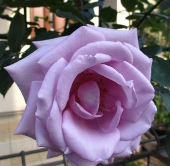 2013年5.17紫バラ