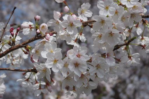 4-3桜あっぷ