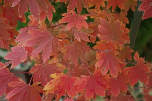 11-15コハウチワカエデの紅葉