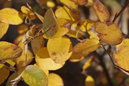 11-15ジューンベリーの黄葉