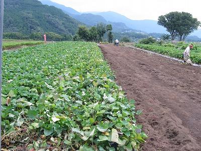 H260915-02秦野の芋畑-s