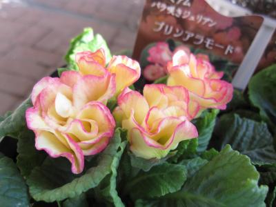 バラ咲きジュリアン・プリンアラモード