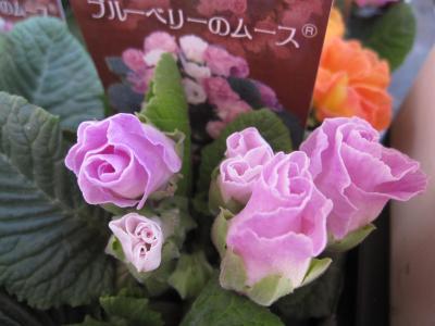 バラ咲きジュリアン・ブルーベリーのムース
