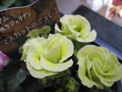 バラ咲きジュリアン・マスカットのジュレ