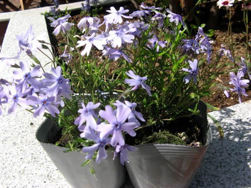 花壇の植栽-2