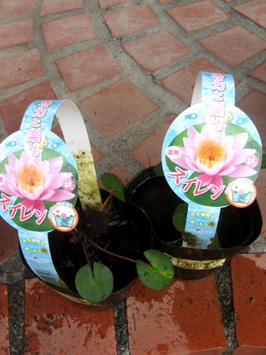 水生植物第1弾-3