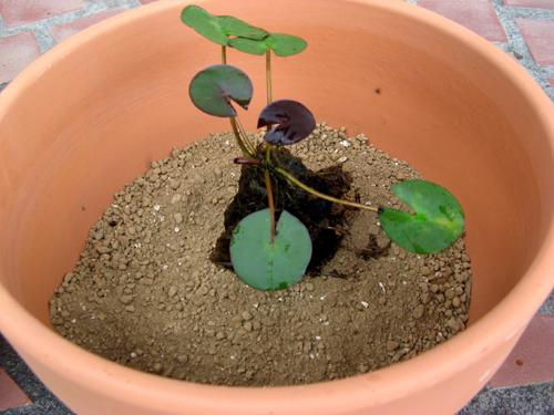 水生植物第1弾-5