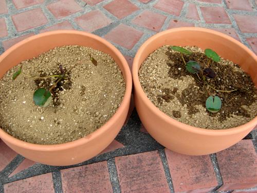 水生植物第1弾-6
