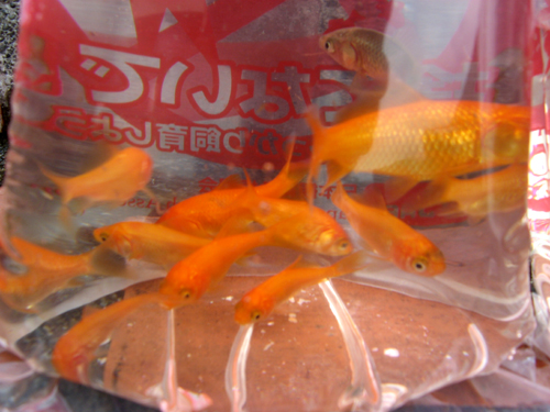 金魚&ヒメダカー6
