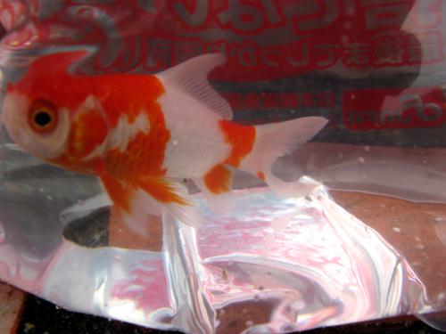金魚&ヒメダカー7