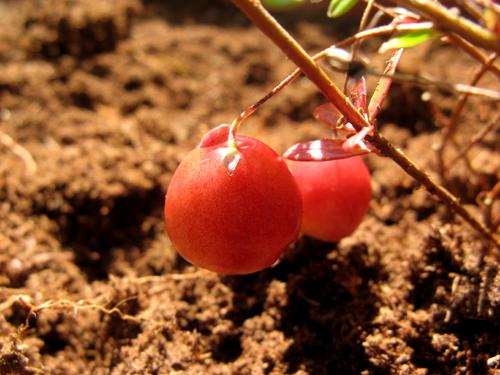 庭の赤い実-2