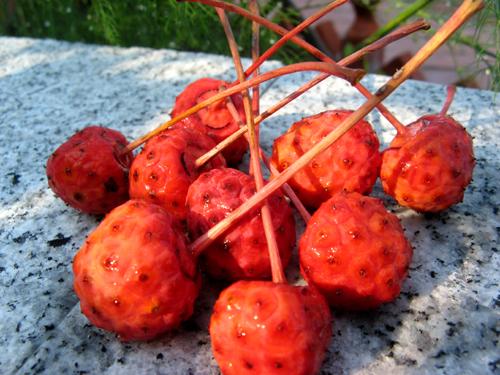 庭の赤い実-3