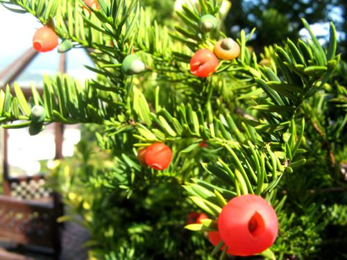 庭の赤い実-4