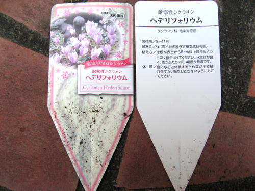 原種シクラメン-2