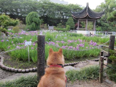 水月公園・花菖蒲