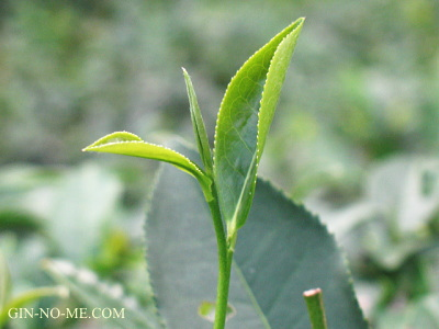 ダージリン お茶の木の芯芽