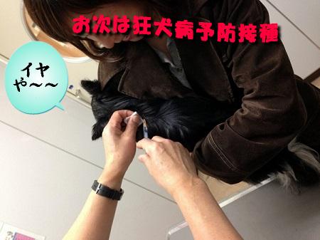 ポテト狂犬病予防接種