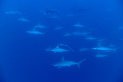 School of Hammerhead shark