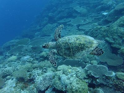 サンゴ礁にウミガメ!